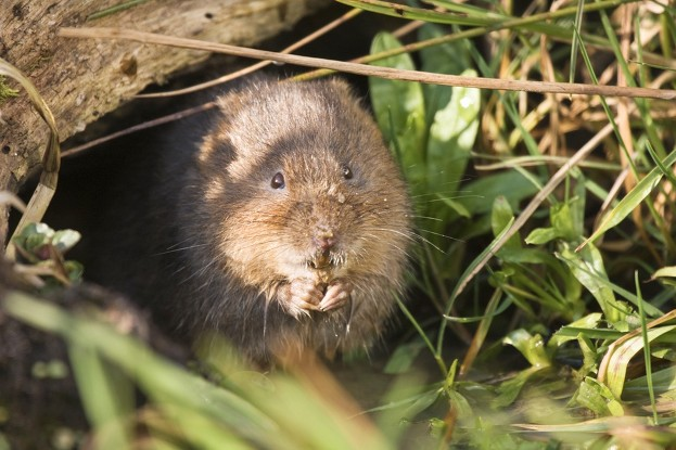 Photograph of a water vole