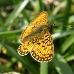 Photo of a small pearl bordered fritillary butterfly