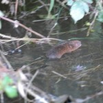 water vole swimming away from the camera