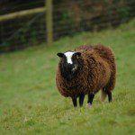Photograph of a Balwen Sheep