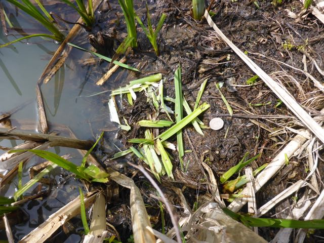 A photograph of a water vole feeding station next to the water edge of the riverbank with a 20p piece for scale