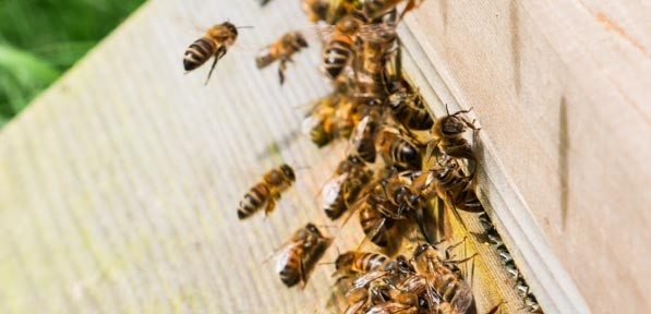 Bees entering their hive