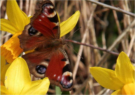 A peacock butterfly on daffodil