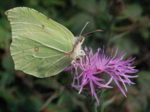 Brimstone butterfly on knapweed.