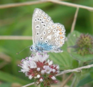 Photograph of the common blue butterfly landing on a wild mint flower on Kilkhampton Common